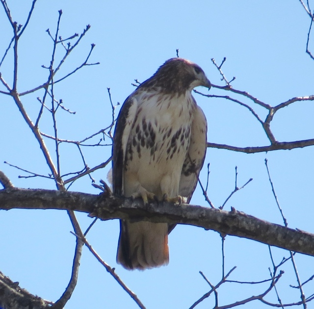 A Red-tail perched on an actual tree.