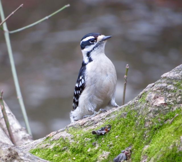 Female Downy Woodpecker. Stripes don't make her look fat.