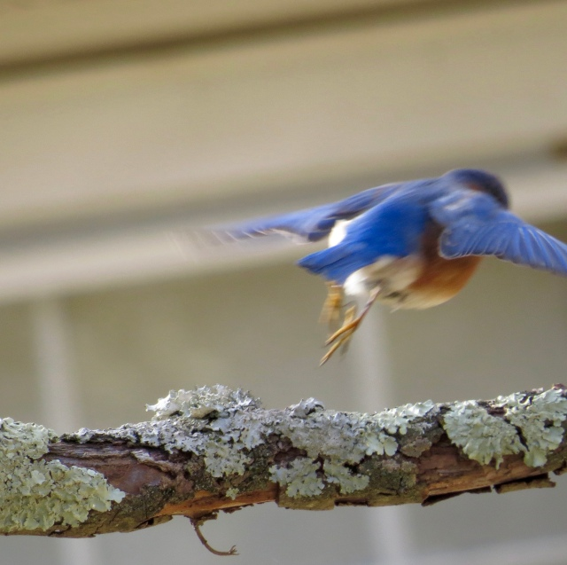 Bluebird flying off. Pretty certain I was the only one watching. I like the lichen.