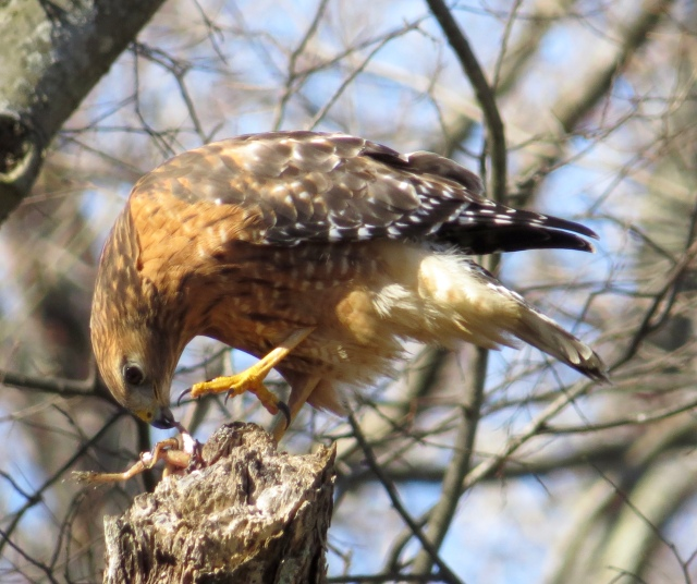 Red-shouldered Hawk eating a frog on the banks of the mighty James River