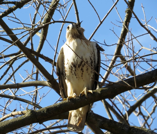 Terrific Red-tail picture by Ethan - excellent job!