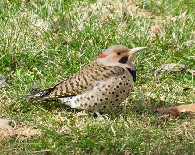 northern flicker 01