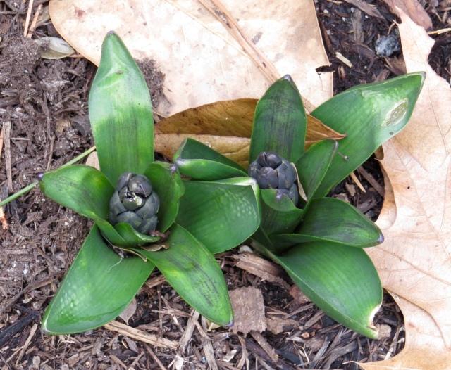 Let the hyacinths begin: