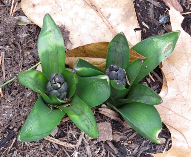 Let the hyacinths begin: