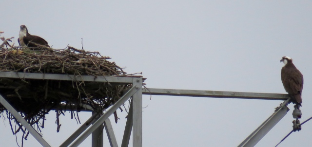 Pair of ospreys returning and cleaning up their nest