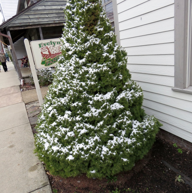 Snowy tree - in front of Evelyn's Pantry!