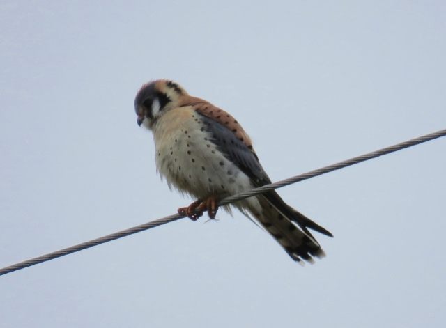 American Kestrel - what a treat that was.