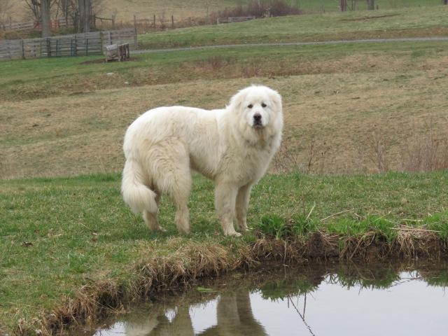 This was a GREAT Pyrenees!