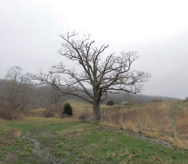 Highland County sugar maple tree, it will leaf out soon.