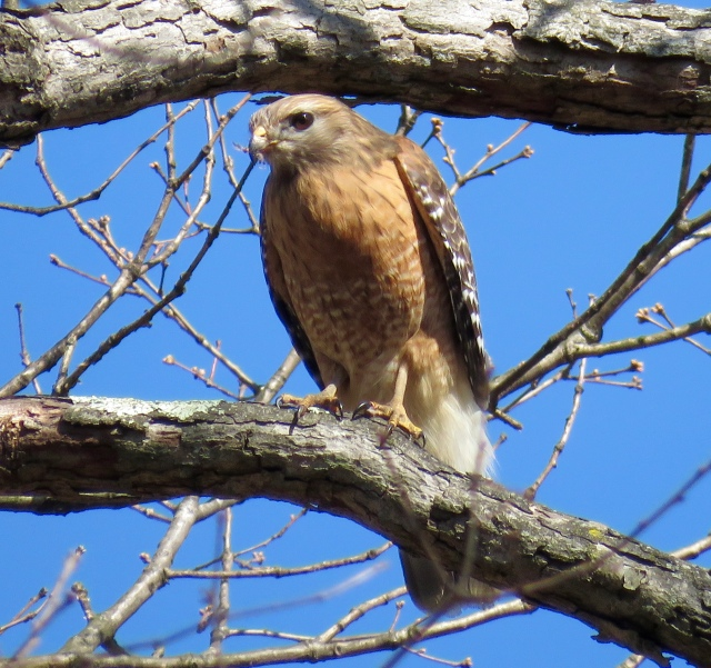 "Red-shouldered Hawk in Bryan Park. The thing about raptor pictures is, they just ""take command"" of the image - when I look at raptor pictures, I just look at the raptor."