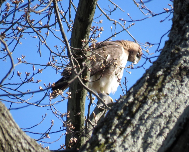 Red-tailed hawk at Bryan Park - taken w/in 1/2 mile of that Red-shoulder, ten minutes later.