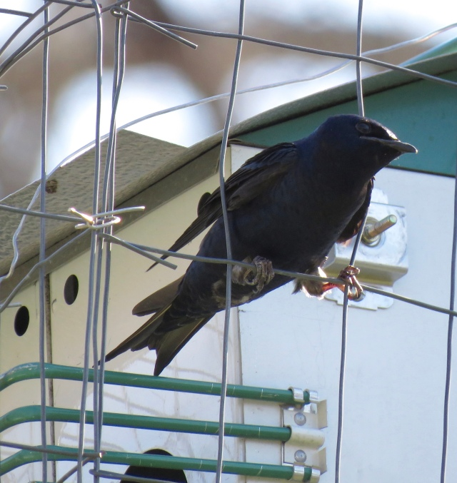 The return of the Purple Martins to Bryan Park - more Spring progress! Yay!