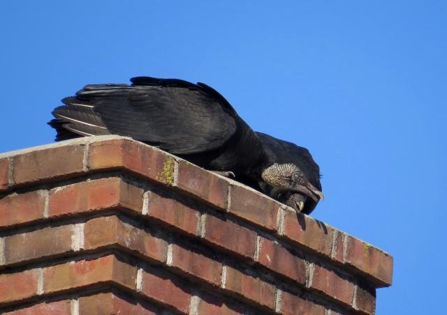 Black Vultures courting, I presume.