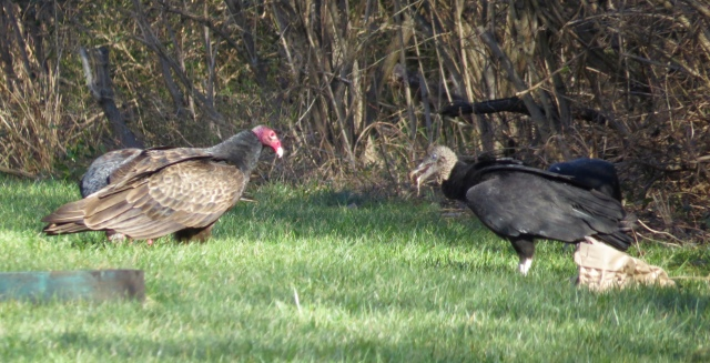 Turkey vulture and a Black vulture face off over a fish carcass.