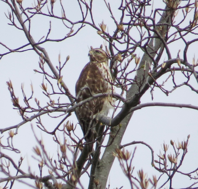First Red-tail of March, in a bare Tulip Poplar across the street from our house. Good eye Evie!