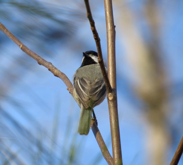 Chickadees are not posers.