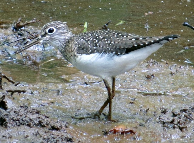 Solitary Sandpiper at Bryan Park, one year ago