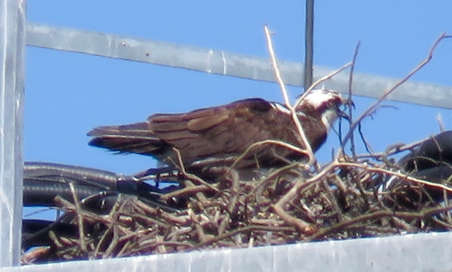 Suburban osprey on Parham Road