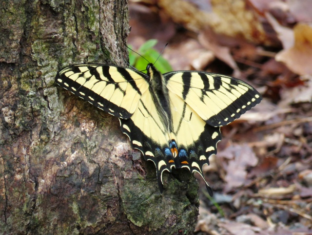 Female Eastern Swallowtail. I'm speechless.