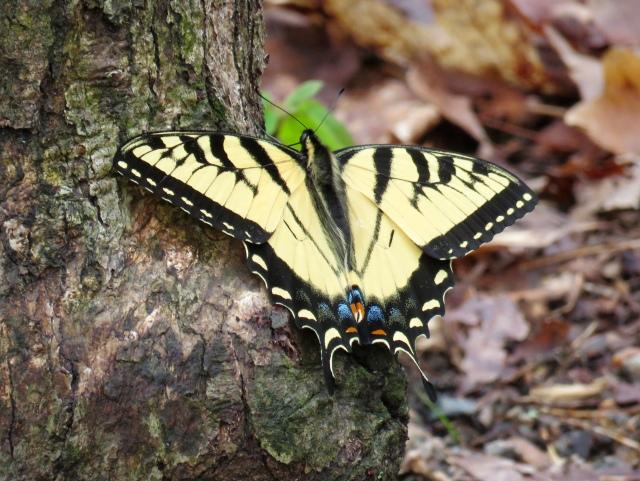Female Eastern Swallowtail. I'm speechless.