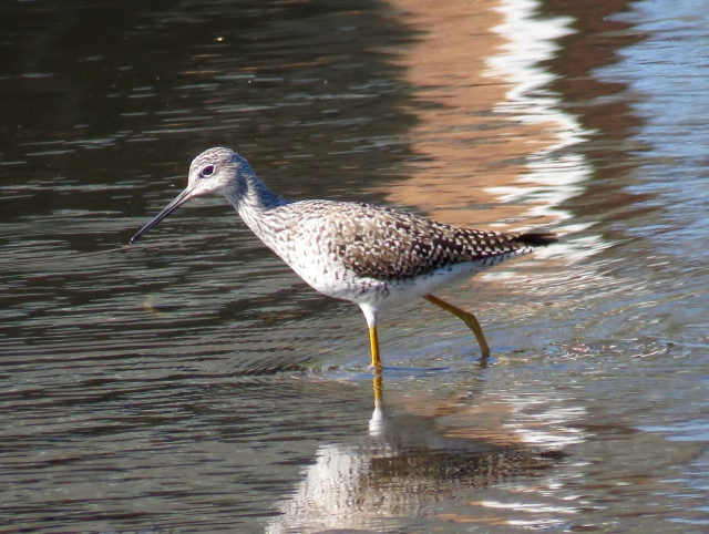Greater yellowlegs at Bryan Park