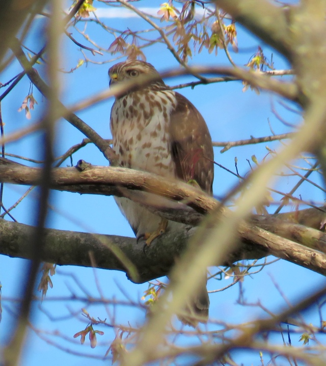This marks one full year of Red-tailed hawks on Westbury Drive. I am so amazed and so gratified.