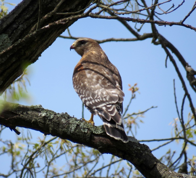 Red-shouldered hawks compliment the Red-tails on our street: