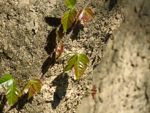 We're growing a great crop of poison ivy! (It's easy to avoid).