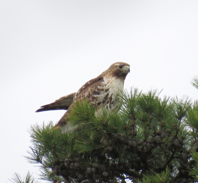 Beautiful Red-tailed hawk perched high in the top of a loblolly pine.