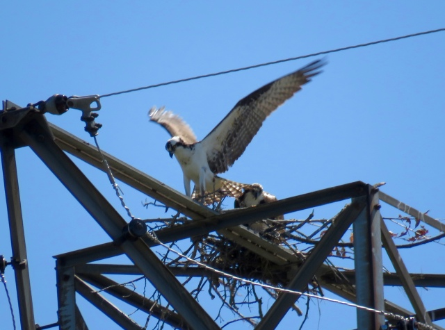 Pair of ospreys on a new nest south of the James River.