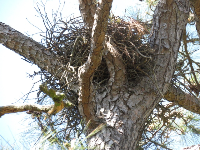 That's what a Red-tail nest looks like. If it hadn't been pointed out to me, I'd have probably never seen it.