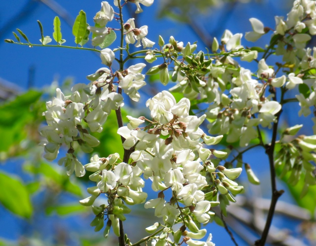Fragrant blossoms from a Black Locust growing next to the railroad tracks: