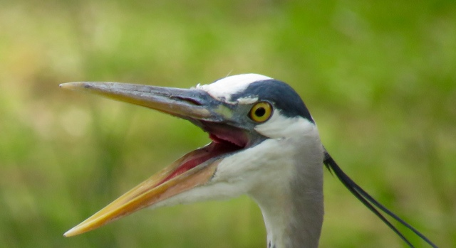 Photo my friend Ethan took at Bryan Park this week. A laughing Blue Heron.