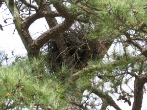 1st Bryan Park Red-tail nest image (for me) of 2016
