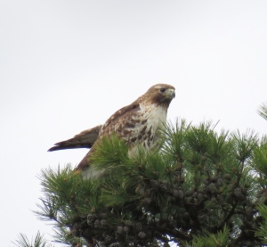 1st Bryan Park Red-tail of 2016, 4/12/2016