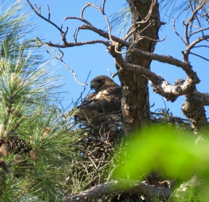 Adult red-tail on the nest: