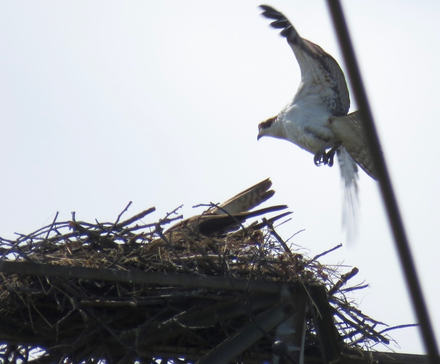 Male osprey returning to nest: