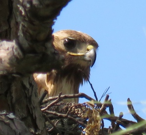 Red-tail on the nest