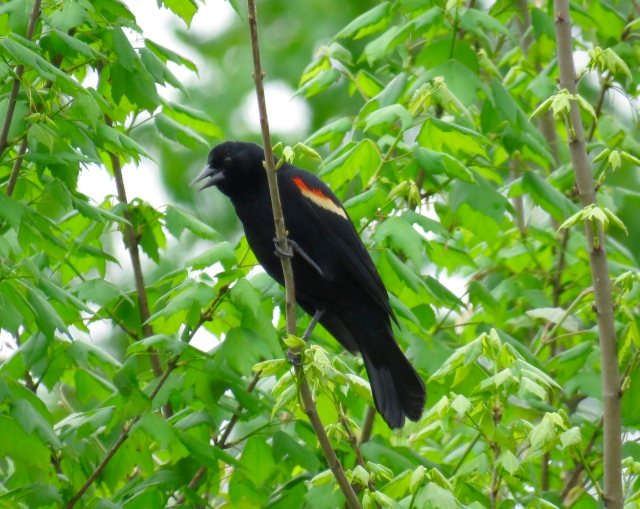 Red--winged blackbird - they're so pretty