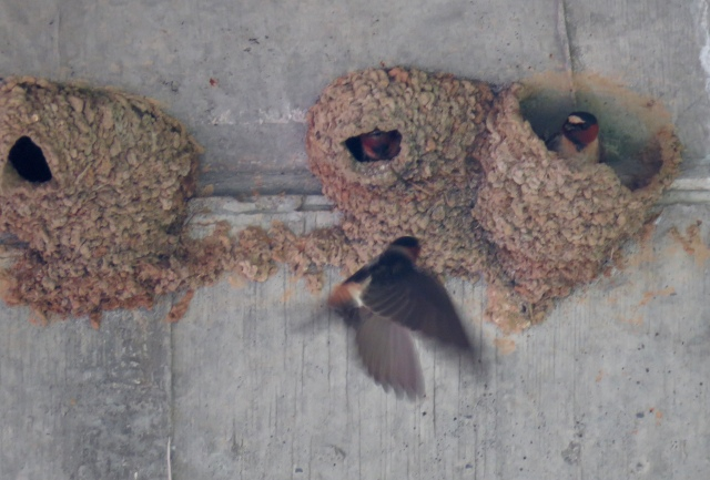 Cliff swallow flying to the nest on the same day as an osprey: