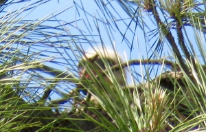 First wild baby Red-tail I've ever seen! Indistinct, behind the pine needles:
