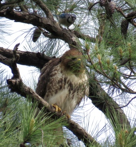 Adult red-tail being harassed by a bluejay (see it just above the hawk?)