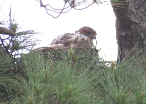 "Another ""rainy day redtail"" adult on nest."