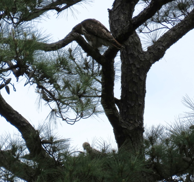 Adult on an overhead limb, baby in the nest.