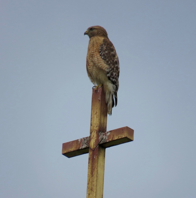 Red-shouldered hawk on a cross