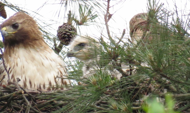 Red-tail family - mother on the left, baby in the middle, father on the right - back to the camera.