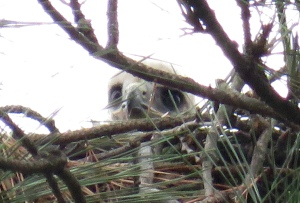Baby peering over top of nest: