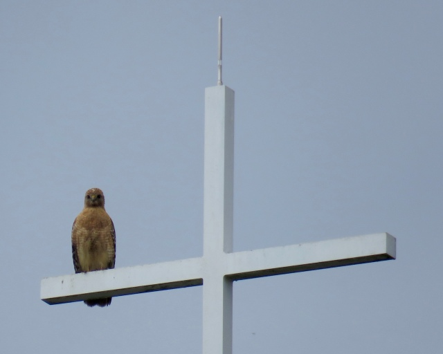 Different Red-shouldered hawk perched on a different cross on a different church on a different day.