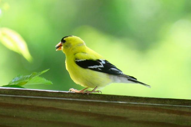 Goldfinch glowing on a cool May morning.
