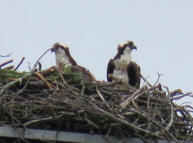 Parham Road osprey pair. I believe they won't use this nest much longer. But I'm not certain.